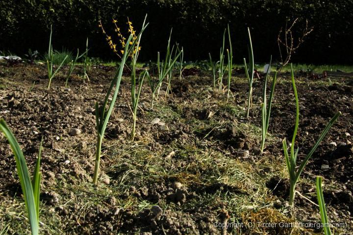 Kultur mit Lauch und Zwiebeln, dazwischen werden im Mai Karotten gesät