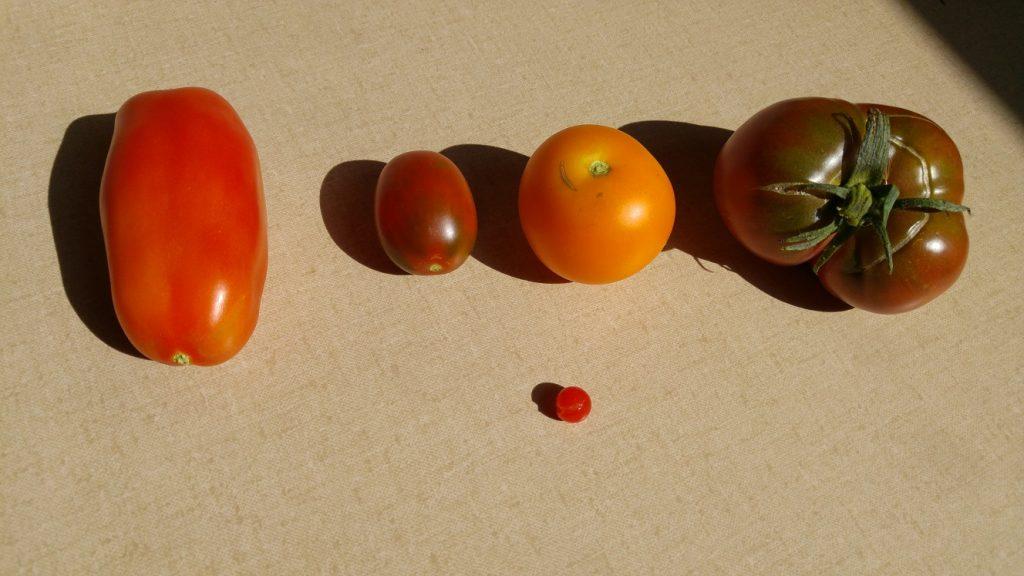 Tomatensorten im Vergleich
