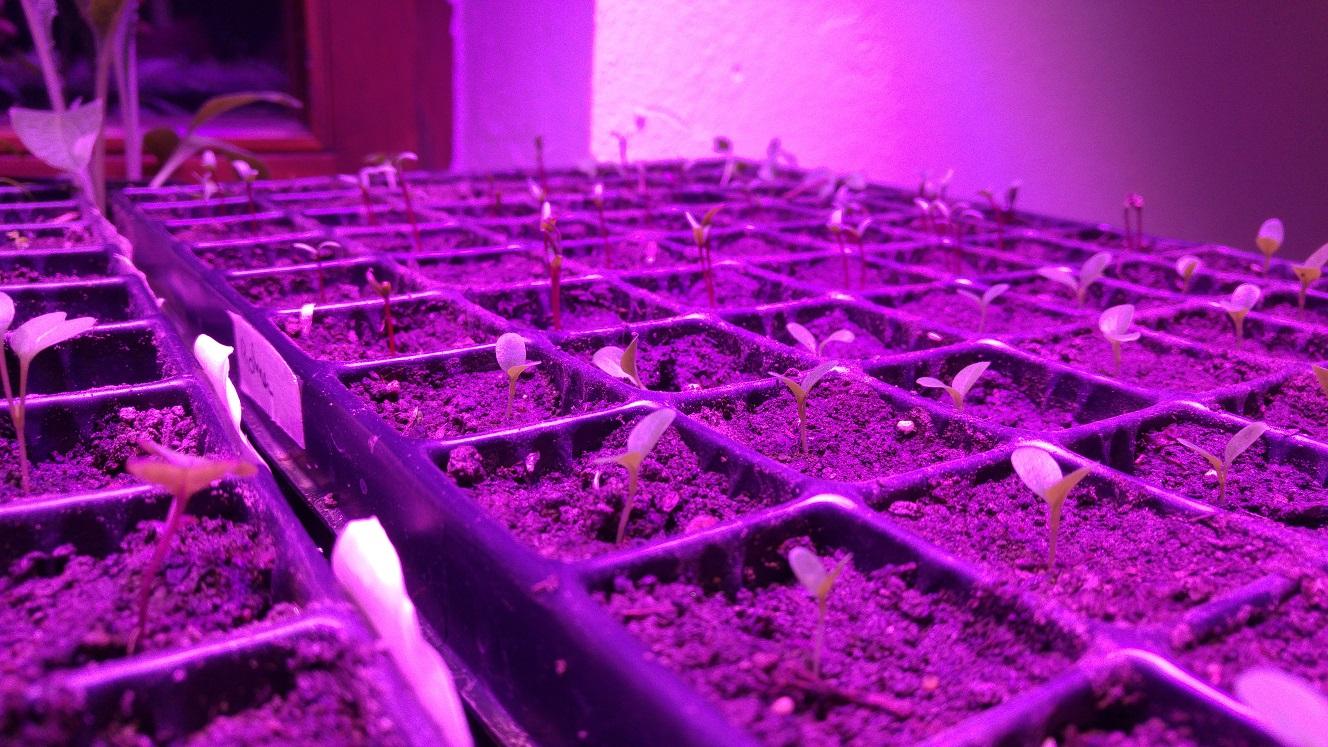 Eichblattsalat ist gerade erst gekeimt, dahinger stecken die Rohnen ihre Blätter in die Höhe.